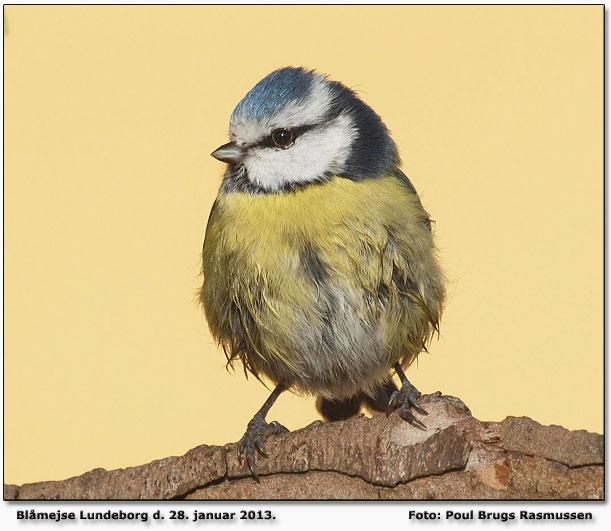 fugl med kæmpe fjerpragt