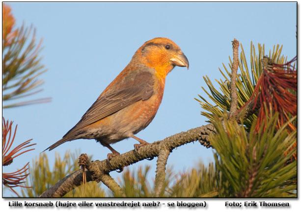 fugl med rødt hoved
