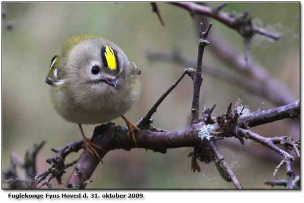 lille dansk fugl